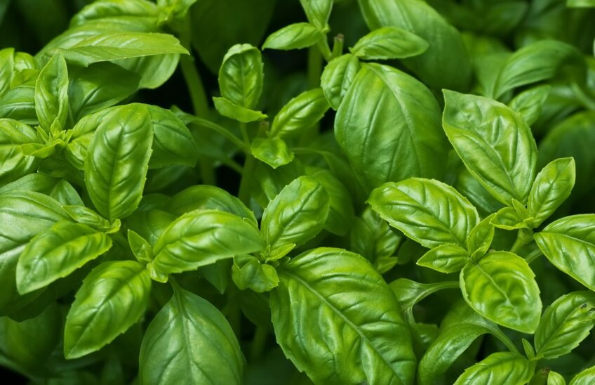 Close-up of a sweet basil plant.